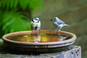 Two Sparrows twittering at a bird bath in a garden.