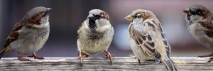 Sparrows sitting on a branch twittering to each other.